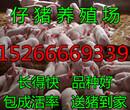 今日山东仔猪报价三元仔猪价格图片