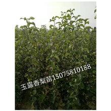 玉露香梨苗的生物学特性的介绍—河北梨树苗基地