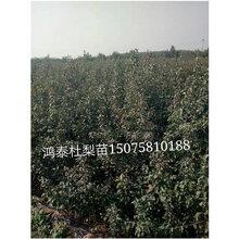 杜梨苗种子冬季处理和繁殖的新方法介绍