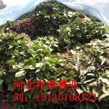 地瓜秧图片