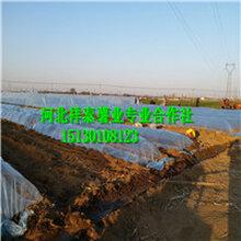 高产红薯苗图片