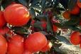 黔南哪个基地东方红桔小苗供应比较好