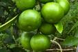 四川哪里有巴西蜜橘苗批发