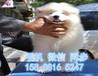 纯白色圆脸天使小萨摩幼犬找新主人啦