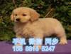 兰州哪里狗狗健康便宜兰州出售纯种金毛疫苗齐全签协议