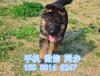 兰州哪里狗狗健康便宜兰州出售纯种德国牧羊犬疫苗齐全签协议