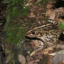 青蛙养殖利润养青蛙可以赚钱江西青蛙养殖基地田鸡养殖图片