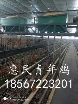 60天海兰褐青年鸡价格