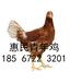 廊坊60天的青年雞價格