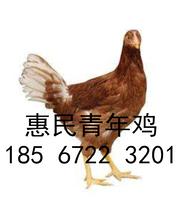日照海兰褐青年鸡养殖图片