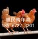 承德60天的青年雞價格