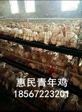 菏泽海兰褐青年鸡养殖基地