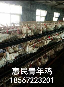 蛋鸡青年鸡价格