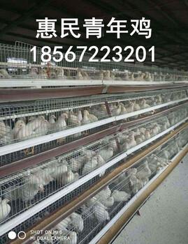 罗曼灰青年鸡,罗曼灰粉青年鸡雏鸡,罗曼灰青年鸡鸡苗