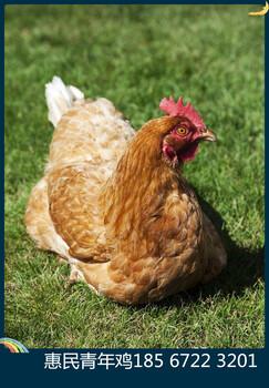 鹤壁市惠民青年鸡养殖中心行业领先的京红1号青年鸡