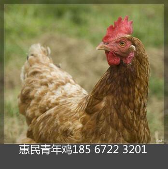 鹤壁青年鸡厂家鹤壁青年鸡养殖场