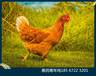 海蘭褐青年雞60天海蘭褐青年雞海蘭褐青年雞養殖