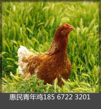 呼和浩特青年鸡养殖基地惠民青年鸡呼和浩特养殖中心