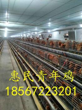 大同京红一号蛋鸡育成鸡计划京红一号育成鸡饲喂方案
