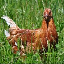 蛋雞育成雞飼養管理海蘭褐蛋雞育成雞養殖基地圖片