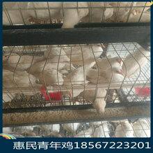 吉林长春蛋鸡青年鸡养殖场青年鸡行业如何良性发展图片