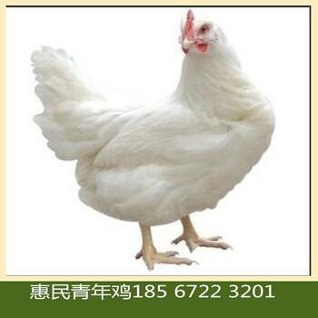 辽宁朝阳罗曼灰青年鸡养殖管理技术罗曼灰蛋鸡青年鸡养殖场