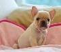 苏州哪里有卖法国斗牛犬纯种法国斗牛犬哪里有繁殖苏州狗场
