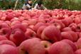 山西临汾翼城红富士苹果基地