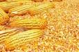 采购玉米油糠次粉麸皮