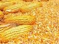 采购玉米油糠次粉麸皮图片