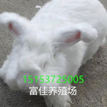 巨高长毛兔