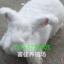 养殖安哥拉长毛兔-山东安哥拉长毛兔价格-安哥拉长毛兔养殖场图片