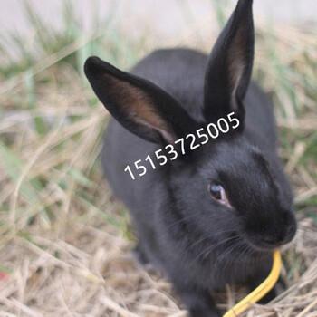 莲山黑兔哪里有,繁殖种兔多少钱一只