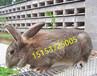 青海肉兔种兔养殖场西宁杂交野兔市场价格肉兔利润分析