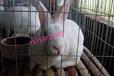 全国獭兔种兔最新价格今日獭兔兔苗养殖成本