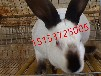 养殖兔子赚钱杂交野兔养殖前景一只母兔收入多少