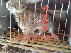 关注四川肉兔种兔价格德阳獭兔种兔价格种兔多少一只