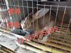 重庆杂交野兔养殖利润万州杂交野兔兔苗多少钱一只