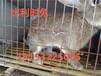 养殖兔子前景如何杂交野兔养殖成本一只母兔利润多少