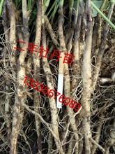 二年油用牡丹苗批发商油用牡丹种子批发商