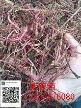 紫菀苗供应商紫菀种植效益
