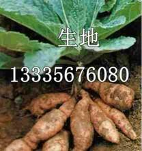 生地苗图片生地苗多少钱一斤