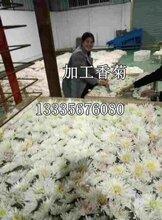 香菊苗价格香菊苗哪里有卖的