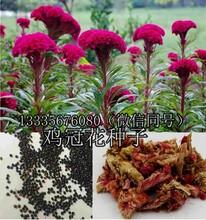 鸡冠花种子今年价格鸡冠花种植效益