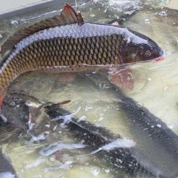 水库草鱼养殖放生价格优惠