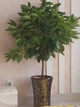 良庆区富贵竹出售-绿植盆栽租赁-良庆区发财树盆景出售-鲜花