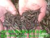 合肥养殖肥西泥鳅养殖场怎样养殖泥鳅台湾泥鳅水产利润高