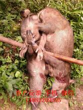 舟山电网捕猎野猪机器虎头机电图片
