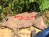 商洛电猫打猎机商洛电打野猪机