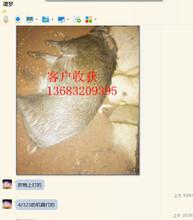 清远电猫捕猎野猪机器利润曝光图片